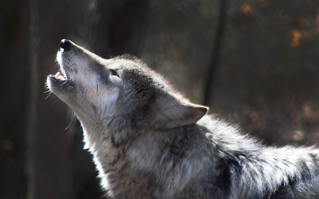 La Majorité encommissionne l'accueil du loup
